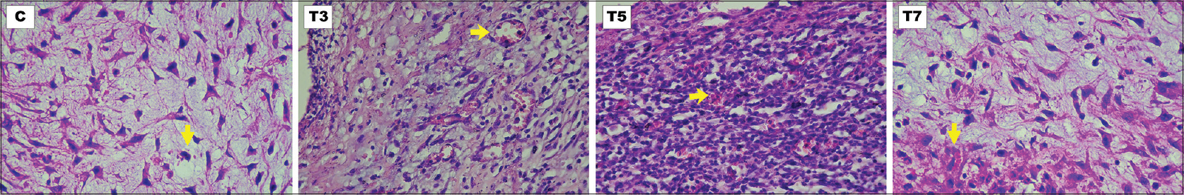Figure 1: The hematoxylin-eosin staining of neovascularization (×400) for C, T3, T5, and T7 groups. Yellow arrows denote the stained neovascular