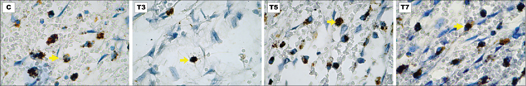 Figure 2: The immunohistochemistry staining of MAC387 expression (×1000) for C, T3, T5, and T7 groups. Yellow arrows denote the stained macrophages